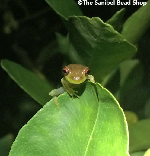 frog on key lime tree3