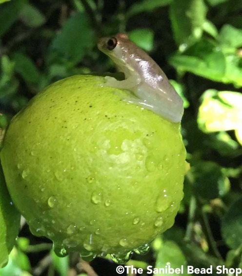 frog on key lime1